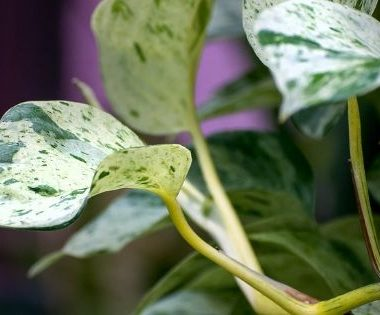 A common houseplant has been genetically modified, but are the results beneficial to our health? Researchers at the University of Washington may have the answer!