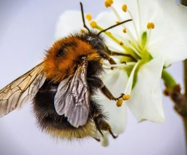 The relationship between and plant and its insect pollinators is a major factor in each species unique biology. Did you know that approximately two-thirds of all flowering plants depend on insects for pollination? Once a flower is pollinated, it can even change its color and scent to lure insects to non-pollinated flowers!